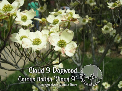 Cloud 9 Dogwood Flowers