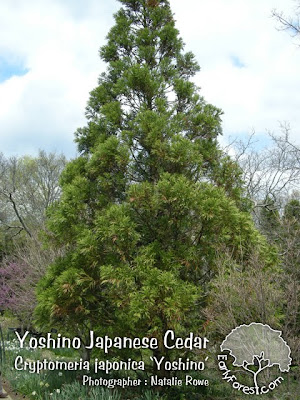 Yoshino Japanese Cedar