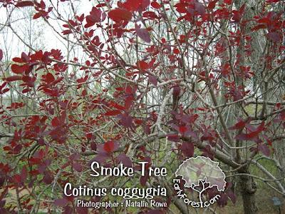 Smoke Tree Leaves