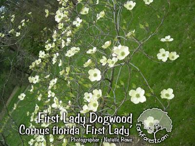 First Lady Dogwood Flowers