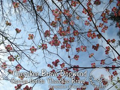 Cherokee Brave Dogwood Flowers