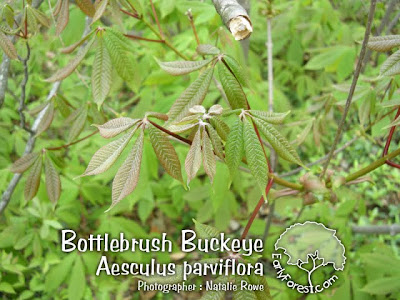 Bottlebrush Buckeye Leaves