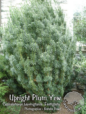 Upright Plum Yew