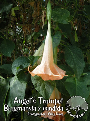 Angel's Trumpet Flower