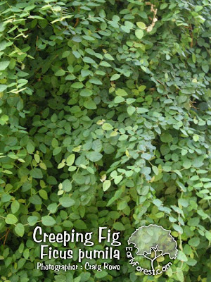 Creeping Fig Leaves