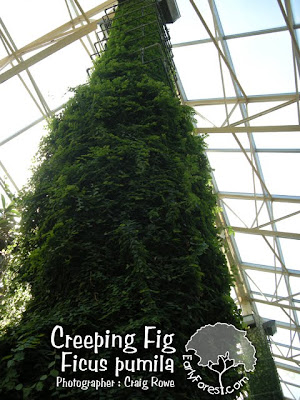 Creeping Fig on Column