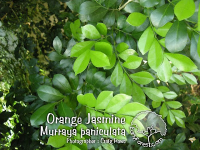Orange Jasmine leaves