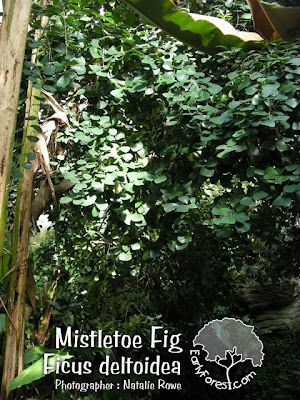 Mistletoe Fig Leaves