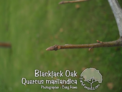 Blackjack Oak Bud