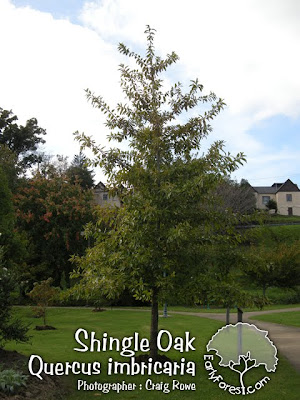Shingle Oak Tree