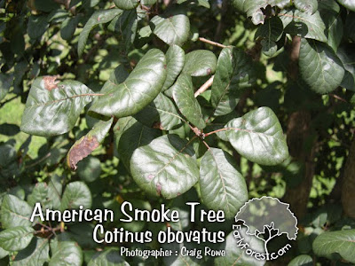 American Smoke Tree Leaves