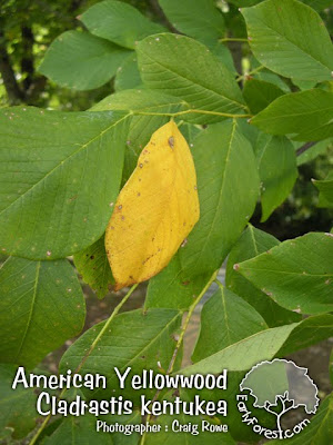 American Yellowwood Leaf