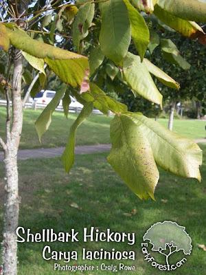 Shellbark Hickory Leaves