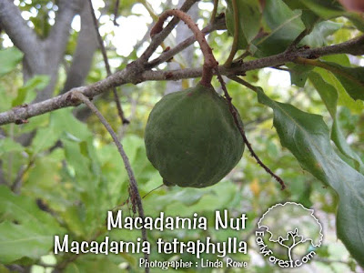 Macadamia Nut Fruit