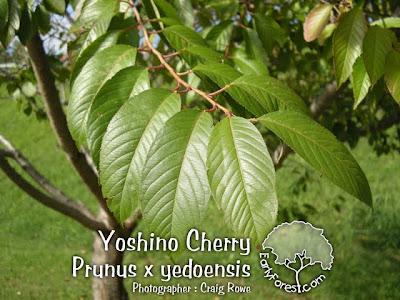 Yoshino Cherry Leaves