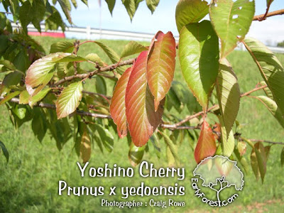 Yoshino Cherry Leaves