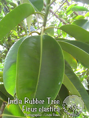 India Rubber Tree Leaves
