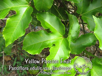 Yellow Passion Fruit Leaves