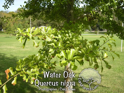 Water Oak Leaves