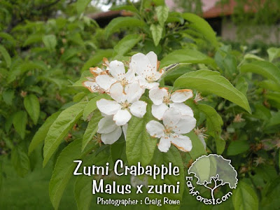 Zumi Crabapple Flowers