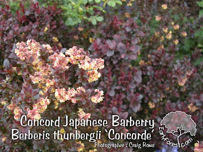 Concord Japanese Barberry Flowers