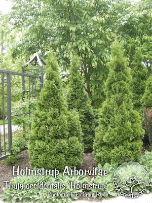 Holmstrup Arborvitae