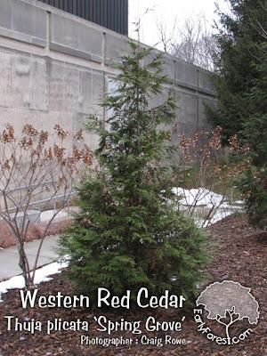 Spring Grove Western Red Cedar
