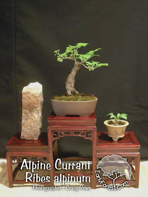 Bonsai Alpine Currant