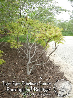 Tiger Eyes Staghorn Sumac