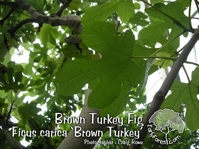 Brown Turkey Fig Leaves