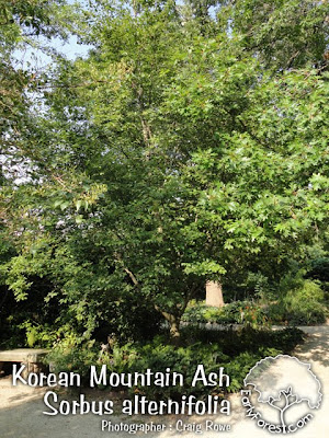 Korean Mountain Ash Tree