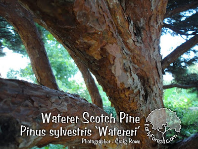 Waterer Scotch Pine Bark