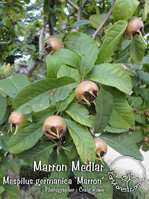 Marron Medlar Fruit