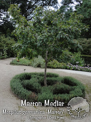 Marron Medlar Tree
