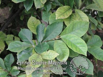 Lennei Saucer Magnolia