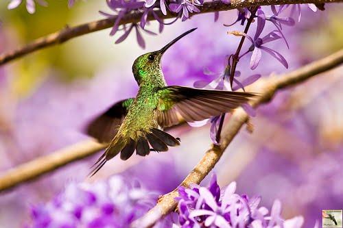 colibri tatuaje. Alas de colibrí.. En alas de la palabra http:/logbromellia.blogspot.com/