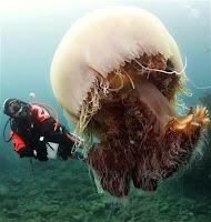 http://3.bp.blogspot.com/_UdqztJLA5Ho/S2Kf0lBQTII/AAAAAAAAA2w/OMflhhW5nQQ/s400/Giant-Jellyfish.jpg