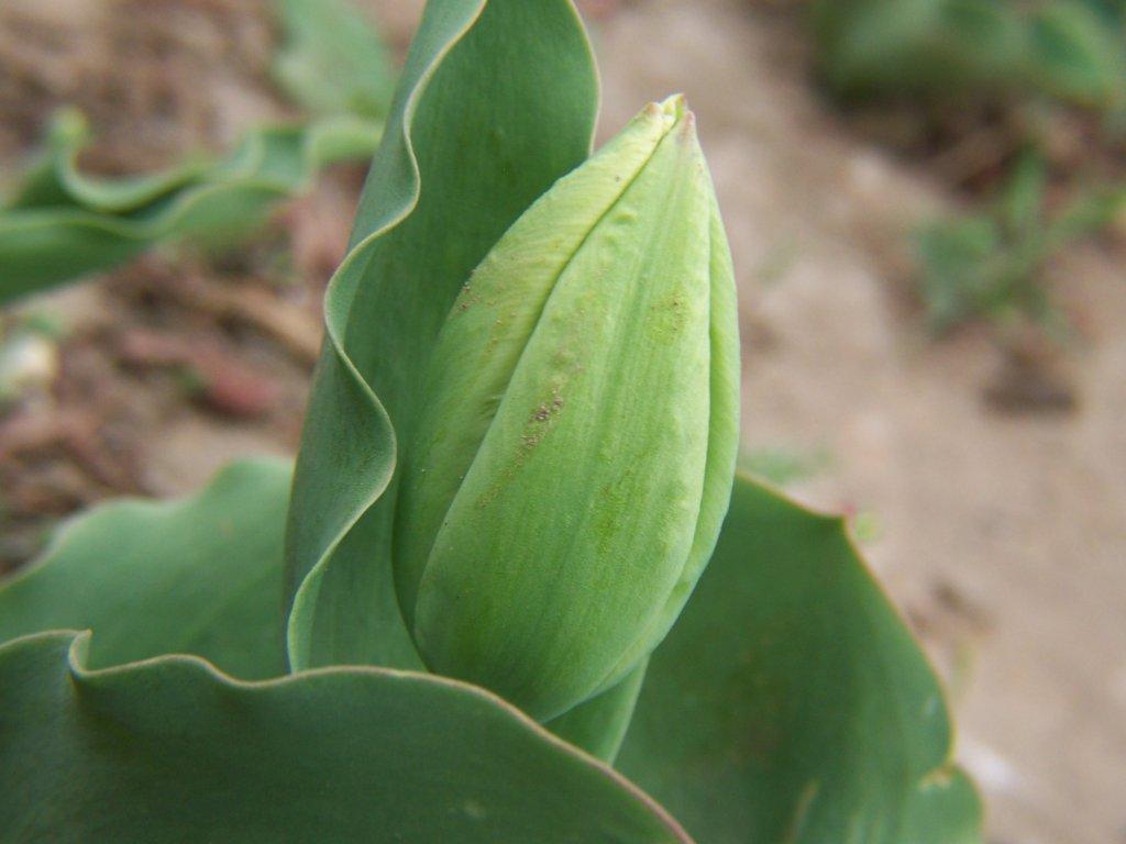 Poppy Seeds - Black Tulip