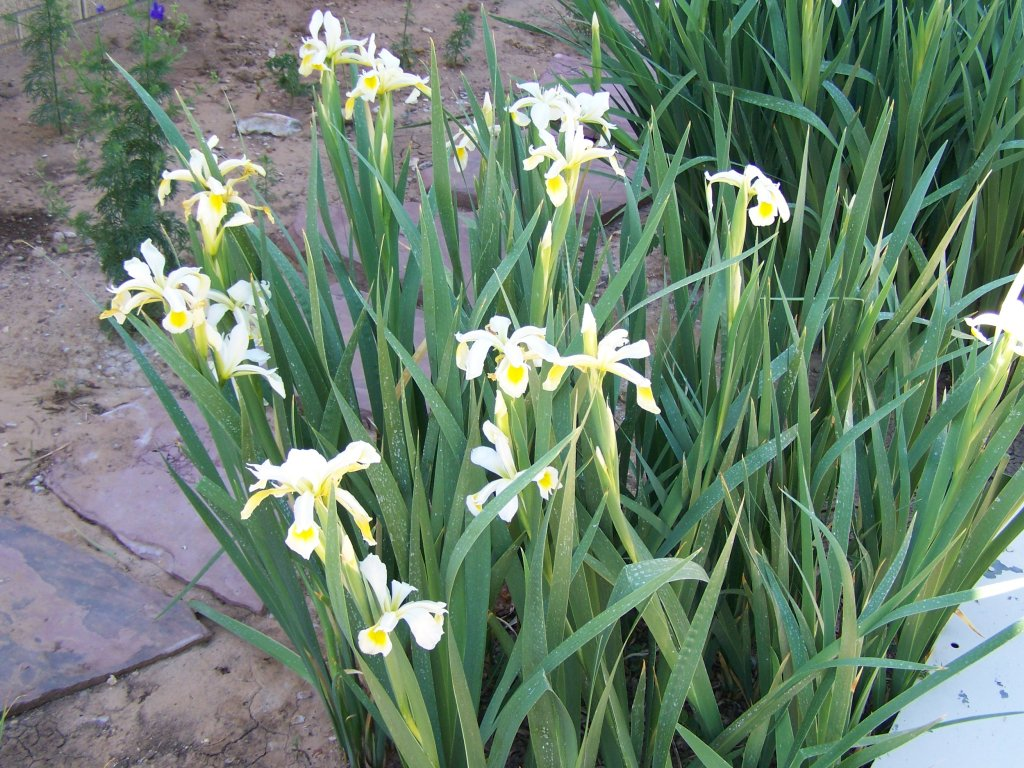 Gardening and flowers white lily plants for Outdoor plants and flowers