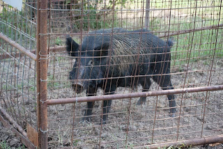 Feral Hog in Trap