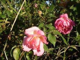 A Dríade da roseira.