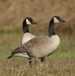 manchester united canada geese united