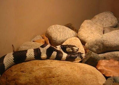 two headed snake alicante spain
