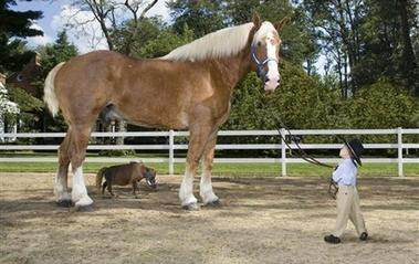 tallest smallest horse in the world
