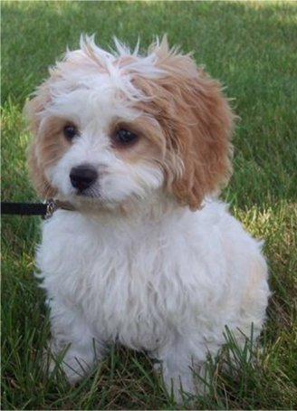 Cavachon | DOGS, PUPPIES, NAMES, BREEDS, TRAINING AND GROOMING Bichon Frise Akc