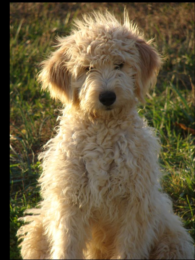 black goldendoodle puppy. goldendoodle puppy