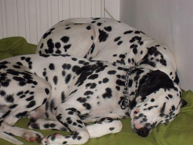 Domino dalmatien mâle 2 ans en Fa en belgique asso dalmasf Je%2Bdors%2Ble%2Bradiateur