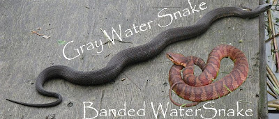 water snakes