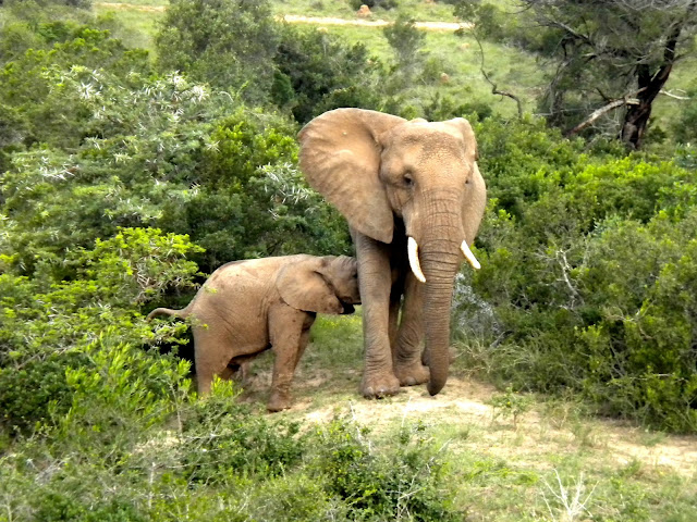 ... elephant and a video of two younsters fighting elephant elephants