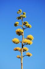 Baca agave in bloom. It blooms then the plant dies.